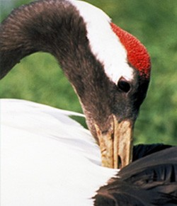 red-crowned-crane1